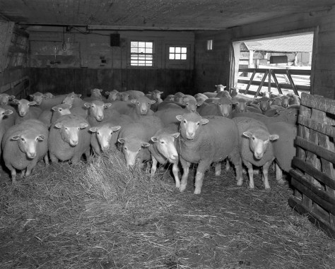 Cathy Griffin, Sheep, Amherst, Mass., 1980