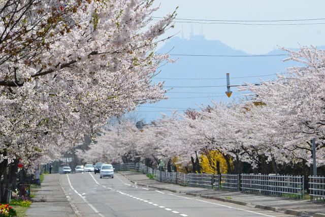 北斗桜回廊・清川千本桜