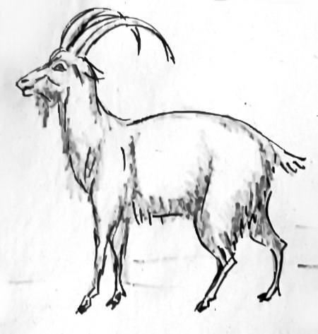 Рисунок Козёл