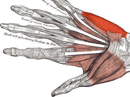 homepage Musculus_abductor_digiti_minimi_(Hand)