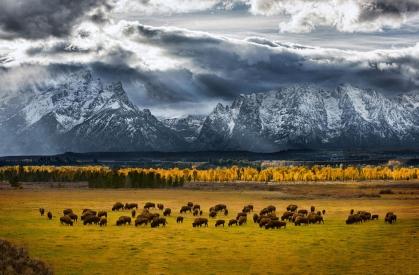 buffalos