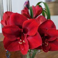 Flower of the Day - November 26, 2015 - Amaryllis