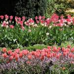 Gorgeous pink tulips in the Sunken Garden