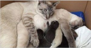 2 Bonded Siamese Cats Reunited at Foster Home, the Cat Father Never Leaves His Family's Side