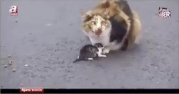 Cat Stopped Busy Traffic To Protect Her Kitten! – VIDEO!