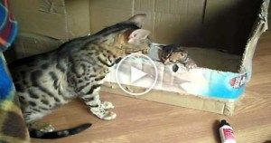 Cute Bengal Cat Mom  Talking To Her Sweet Tiny Kitty