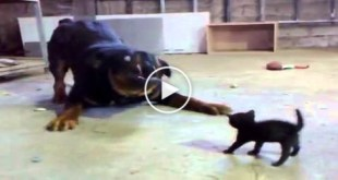 Brave Tiny Kitty AGAINST Big Dog.... AMAZING..