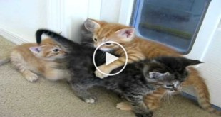 Playful Puppy Stops Kittens Fight. You Have To see What Happens Next