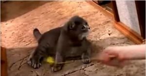 This Kitten Was Playing… Watch Her HILARIOUS Reaction When She Heard The Doorbell