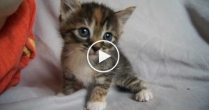 Sweet Baby Kitty Desperately Meowing For Mom…