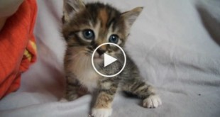 Sweet Baby Kitty Desperately Meowing For Mom...
