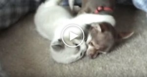 Lovely Kitty Loves To Play With Her Puppy Friend