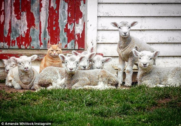 This Cat Called Steve Thinks He`s A Lamb
