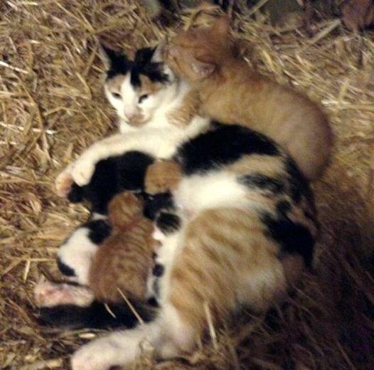 mama-cat-adopts-big-kitten-1