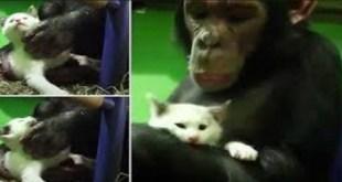 rsz_chimp_and_kitten_naslovna_123