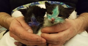 Kitten Found Colored In With Green and Blue Permanent Markers Nursed Back To Black And White