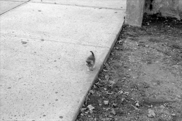 skateboard kitten