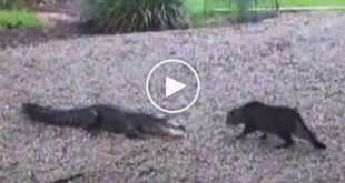 Angry Alligator Attacked Fearless Cat. Watch What Happens Next !