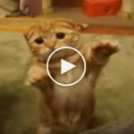 The Most Awesome Kitty Standing Like A Real Human. Must Watch !