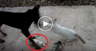 Mom Cat Protects Her Little Kitten From Scary Doberman. Must Watch !