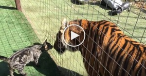 Brave Cat Kisses a Tiger And Walks Away. Unbelievable Video !