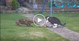 Brave Cat Is Not Afraid Of Hungry Fox. Must Watch !