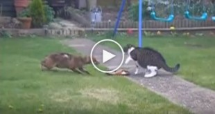 Brave Cat Is Not Afraid Of Hungry Fox. Must Watch