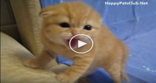 Tiny Kitten Hissing At His Human. Cute Little Buddy. Must Watch