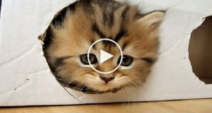 Kittens Playing With Box. This Is Probably The Cutest Kitten`s Video Ever !