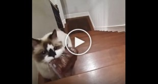 Cat Delivers Her Bag of Treats To Her Human To Be Fed