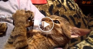 Just Listen To The Sounds This Kitty Makes While Drinking Milk From Bottle