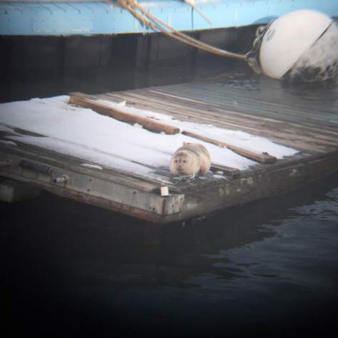 Harbor seal on a Governors Island dock in February 2015. Credit Ketelyn Fong, Class of 2015, NYHS.