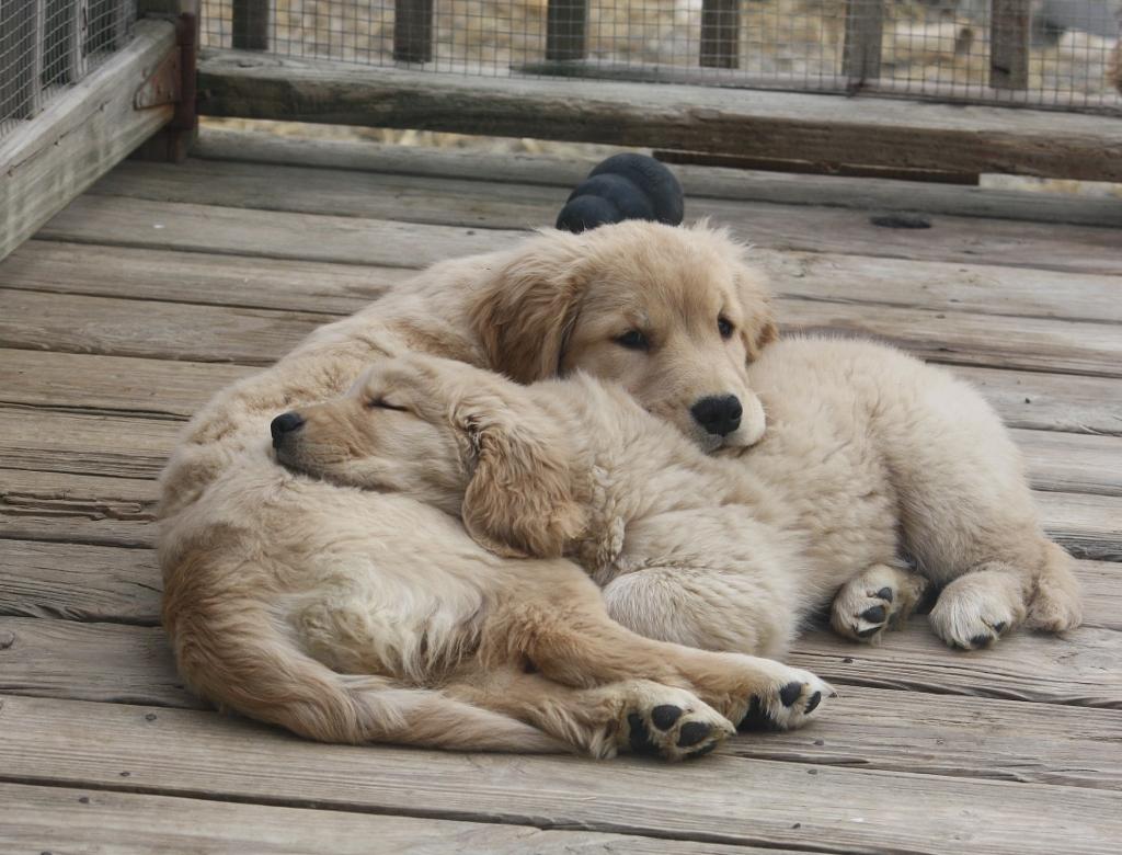 Calmly Sale Sale S Gen Retrievers Gen Retrievers Puppies Harborview Gen Retrievers Gen Pa S bark post Pictures Of Golden Retrievers