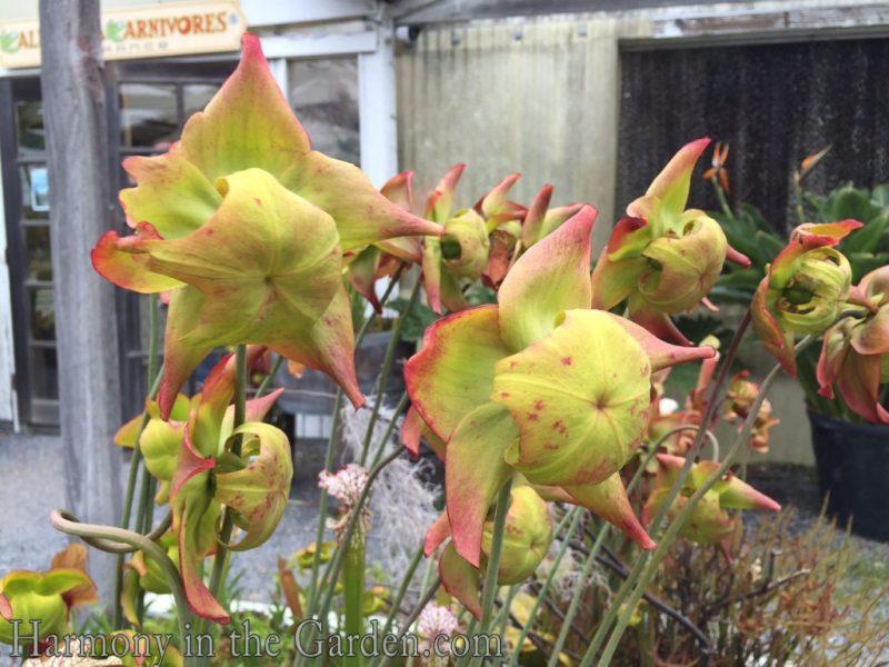 Large Of Carnivorous Plant Terrarium