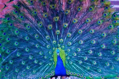 Peacocks   Hate on Hater