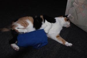 Hitze für Katzen erträglicher machen