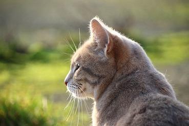 Neolithische Revolution führte auch in China zur Domestikation der Katze