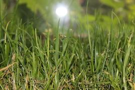 Katzengras im Haustiger-Test: Miau-Katzengras
