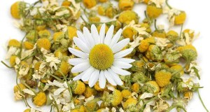Chamomile_Flowers