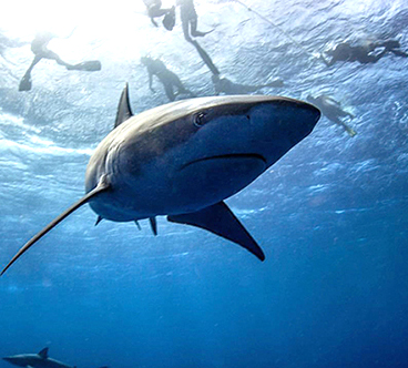 """Shark_Cage_Tours_Hawaii""/"