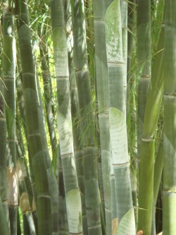 Formidable Bamboo Which Shoots Can Be Eaten Take Control Your Own Survival Alphonse Karr Bamboo Propagation Alphonse Karr Bamboo Images