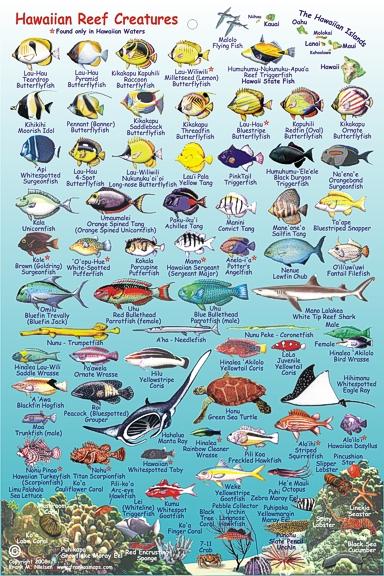Tropical fish kauai tropical fish on kauai 2017 fish for Hawaiian fish identification