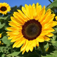 sunflower-1627193_960_720