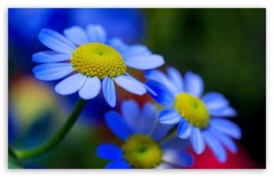 Blue Flowers 4K HD Desktop Wallpaper for 4K Ultra HD TV • Wide & Ultra Widescreen Displays ...