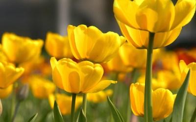 yellow flower petals - HD Desktop Wallpapers   4k HD