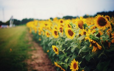 sunflower pictures - HD Desktop Wallpapers | 4k HD