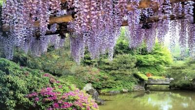 flowers garden pond wisteria-hd-wallpapers-free - HD Wallpaper