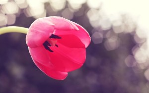 red-tulip-close-up-photo