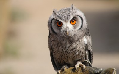 Owl Wallpapers & Pictures | Hd Wallpapers
