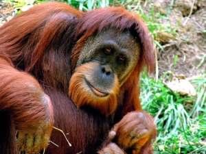 rocky-orangutan-early-human-speech-1